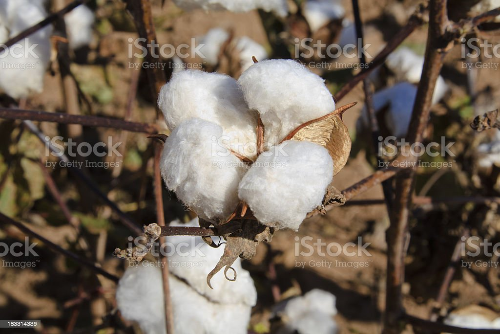 Cotton bolls in field ready for harvest stock photo