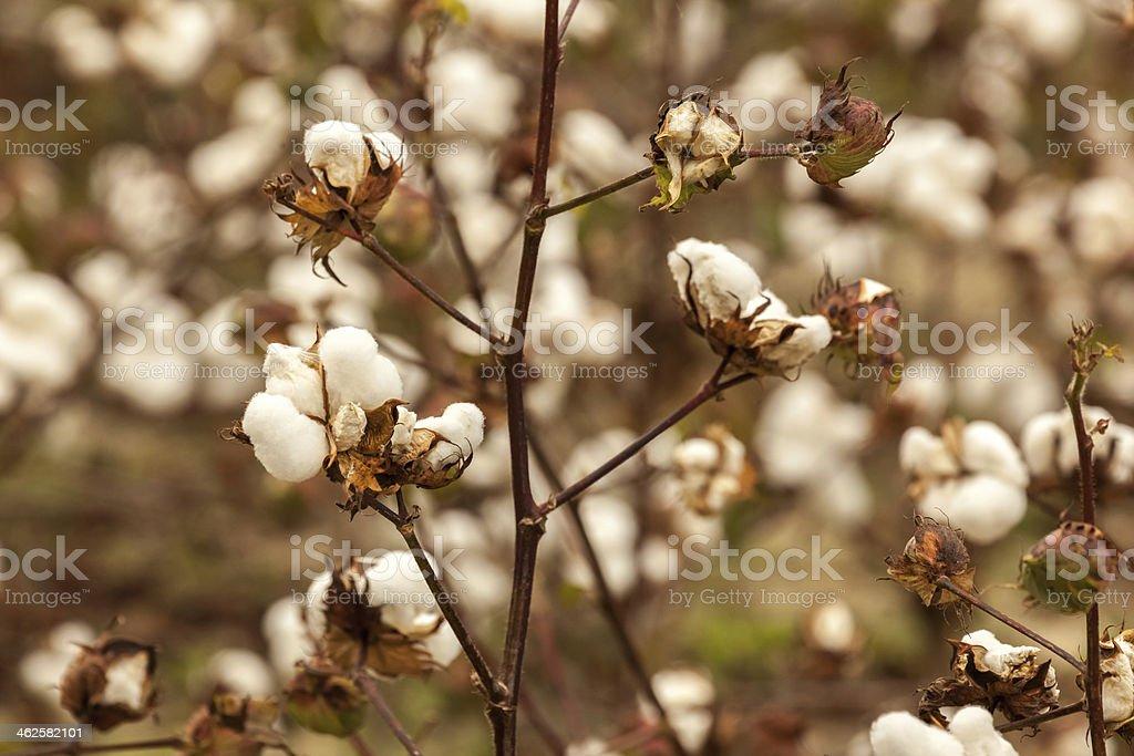Cotton Bolls on Stem I stock photo