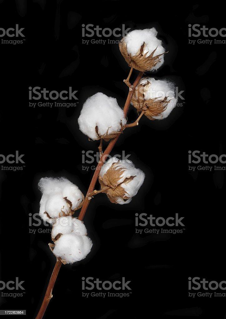 Cotton Bolls royalty-free stock photo