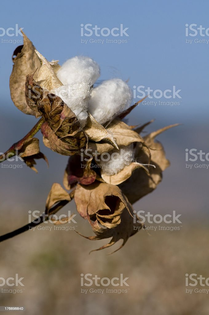 Cotton bolls ready for harvest stock photo