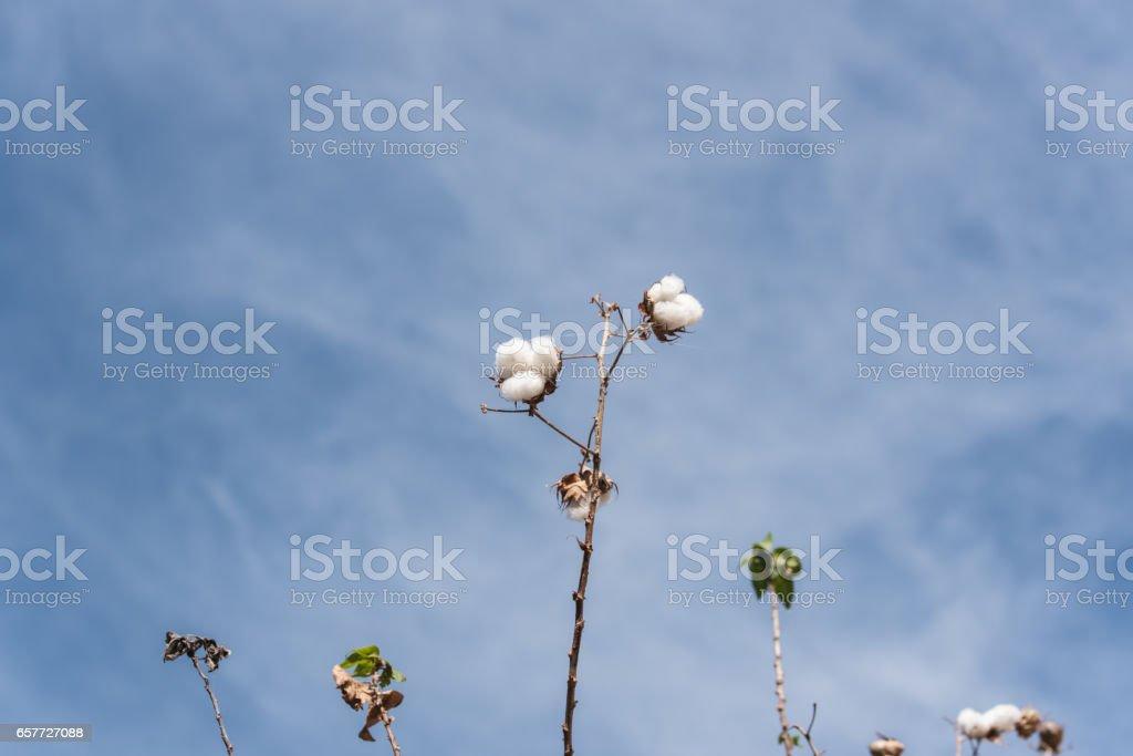 Cotton botany tree stock photo