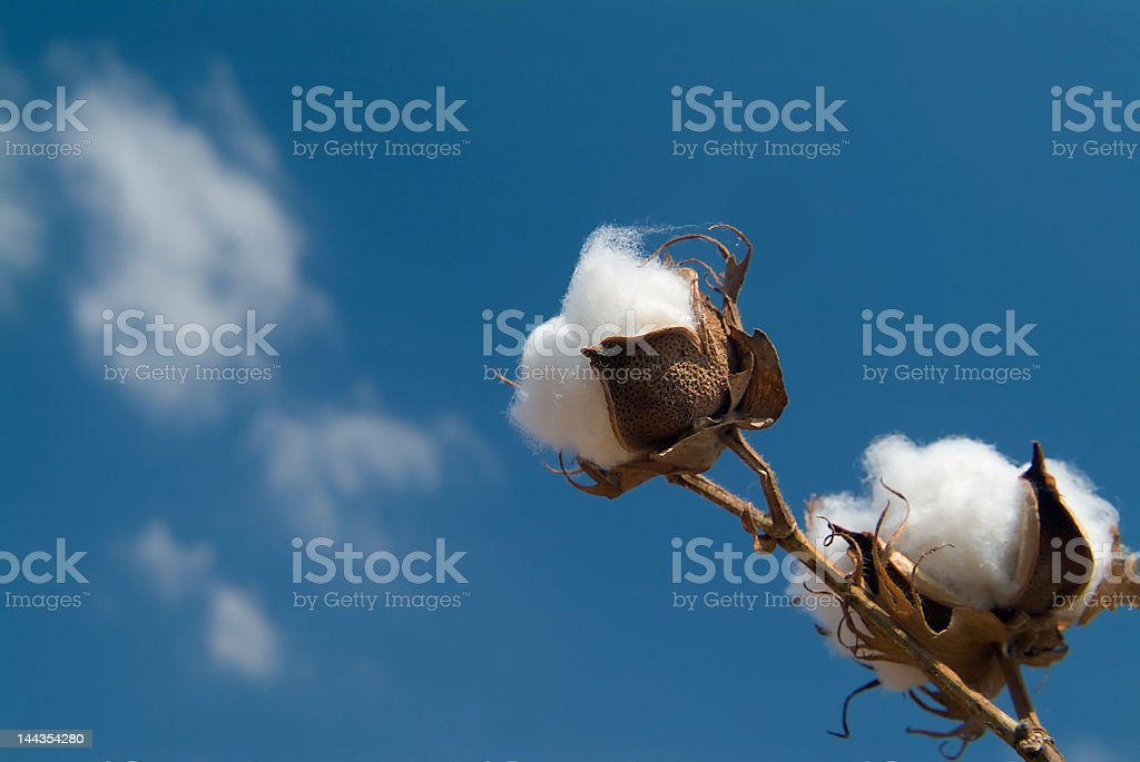 Cotton branch on blue sky background royalty-free stock photo