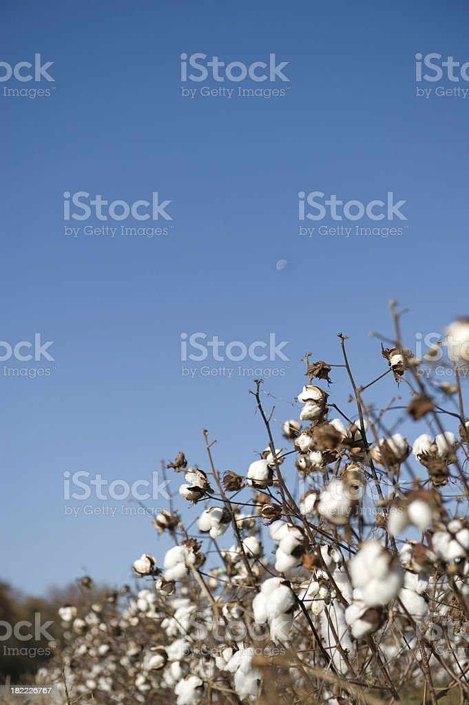 Cotton Crop and the Moon stock photo