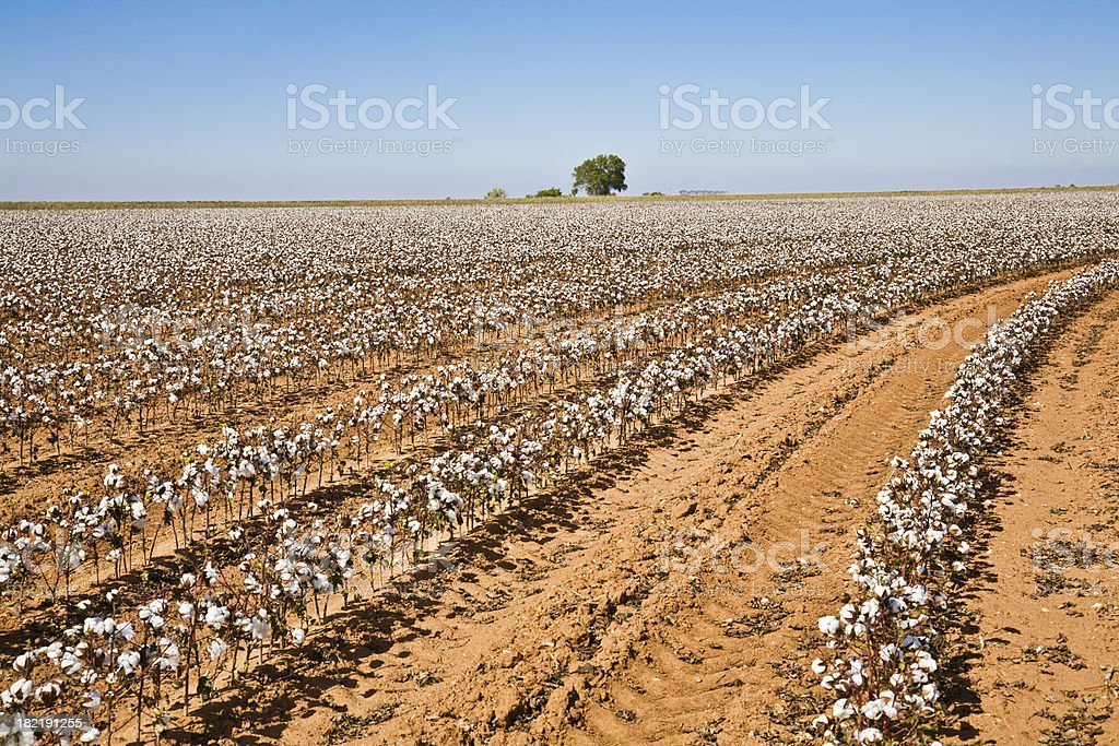 Cotton Crop Curved Rows with Tree in Distance stock photo