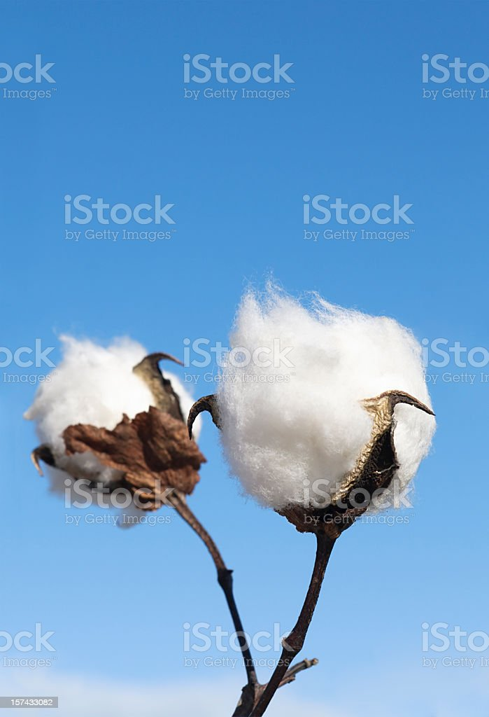 Cotton Crop Detail royalty-free stock photo