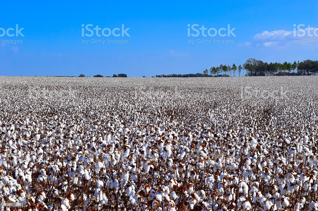 Cotton Crop in a Field with Blue Sky stock photo
