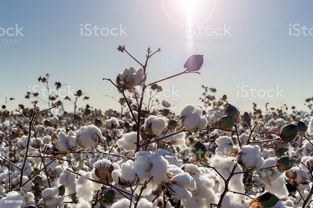 Cotton crop in full bloom stock photo