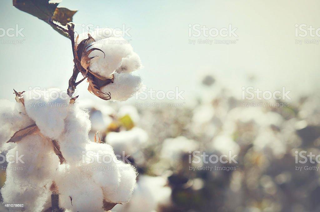 Cotton crop landscape with copy space area stock photo