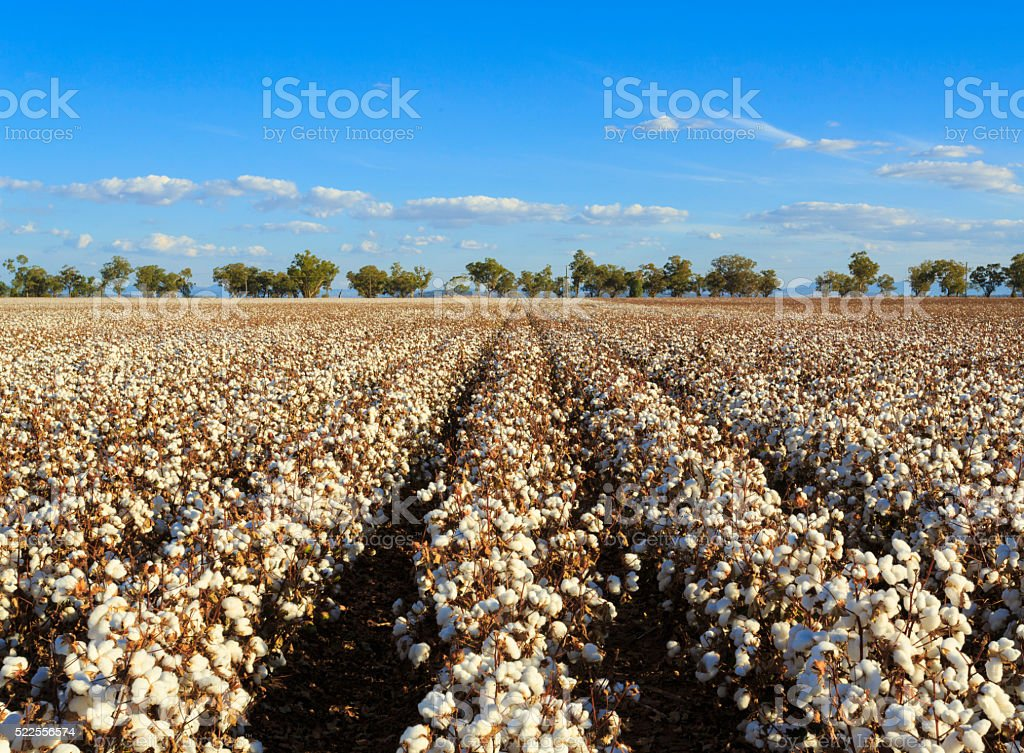 Cotton crops stock photo