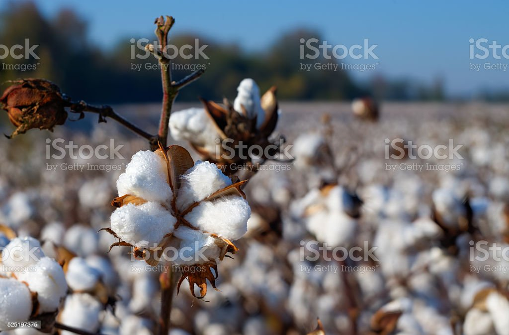 Cotton, Essential Clothing Fiber stock photo