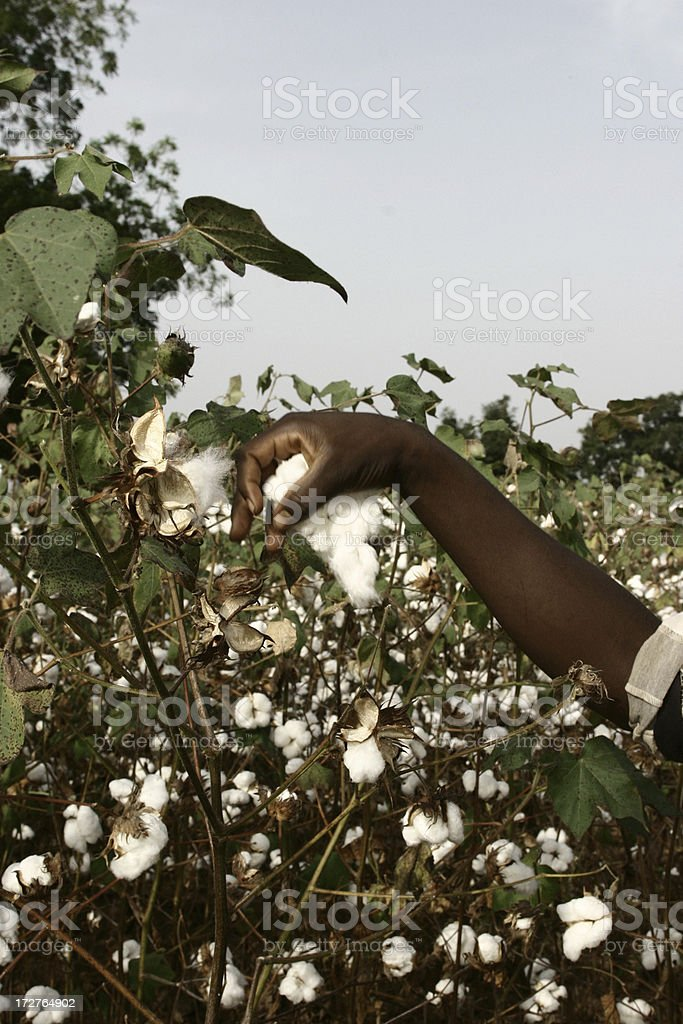 Cotton Farmer royalty-free stock photo