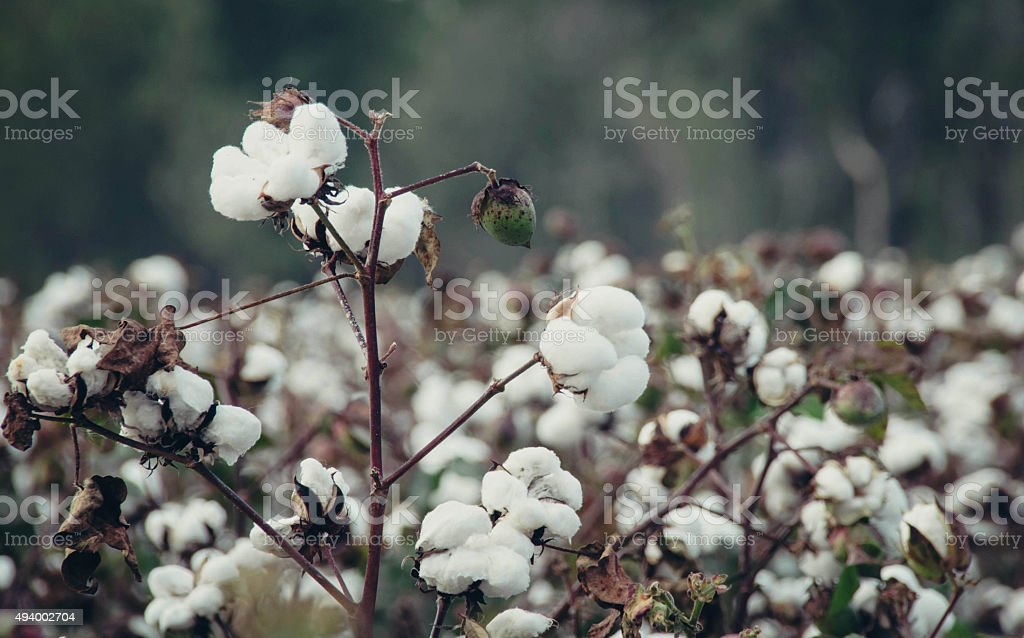 Cotton Field 3 stock photo