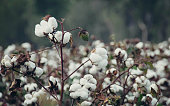 Cotton Field 3