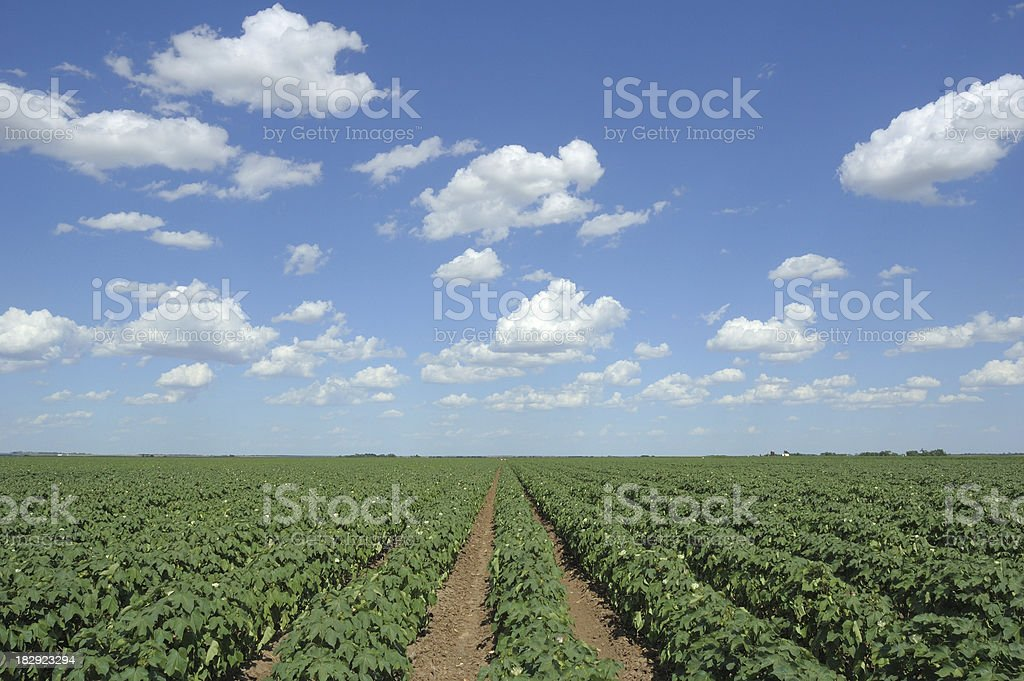 Cotton Field and Clouds royalty-free stock photo