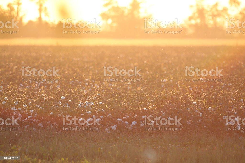 Cotton Field at Sunset stock photo