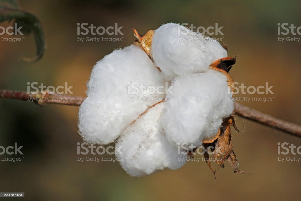 Cotton Field, Boll ready for harvest stock photo