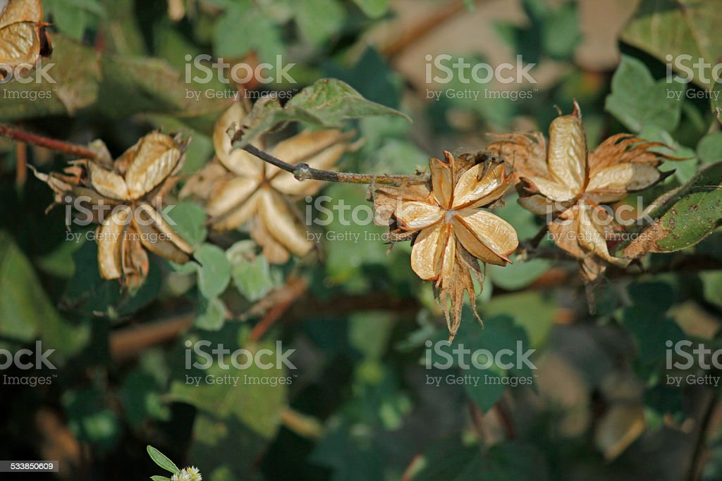 Cotton Field, Cotton Bracts stock photo