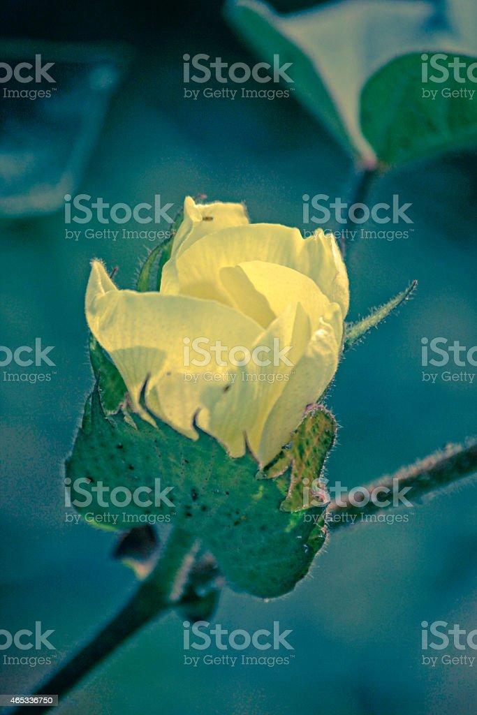 Cotton Field, Cotton flower stock photo