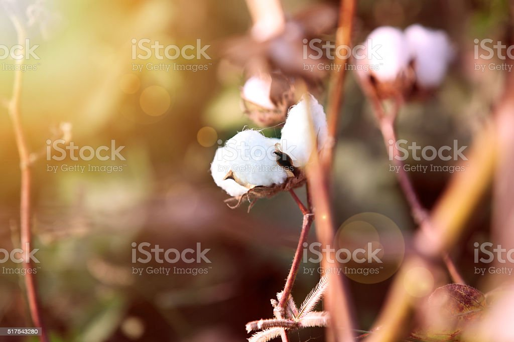 Cotton field during early morning stock photo