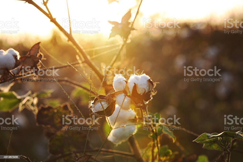 Cotton Field during Sunset HDR Image stock photo