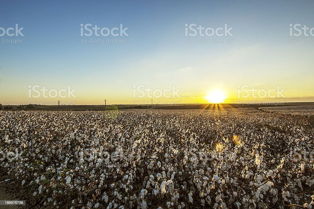 Cotton field on the sunshiny day stock photo
