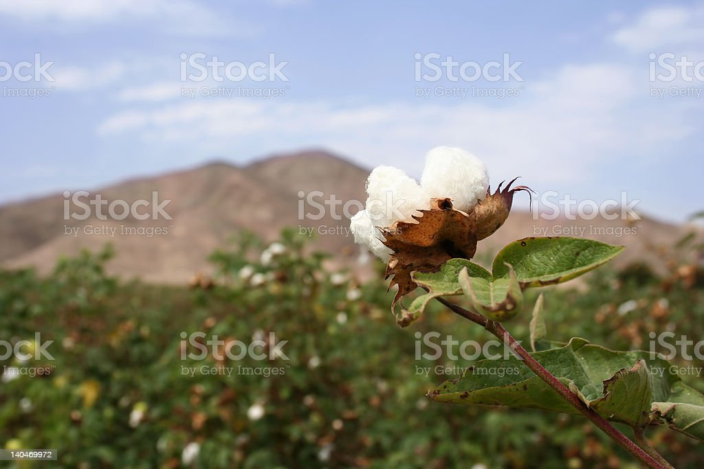 Cotton field (Landscape) royalty-free stock photo