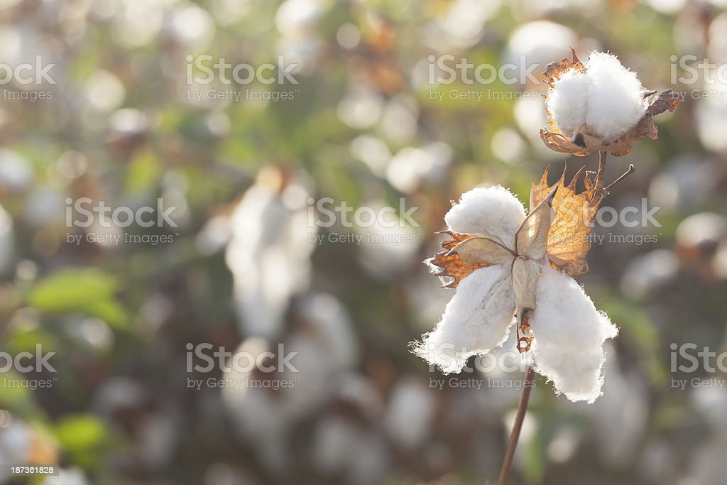 Cotton field. royalty-free stock photo