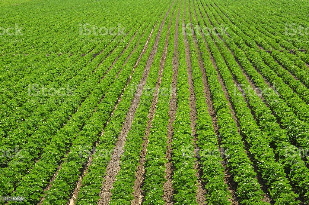 Cotton field stock photo