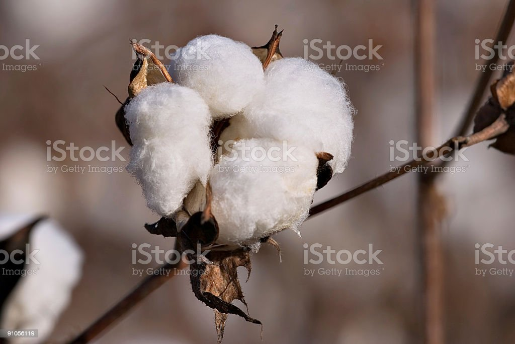 Cotton field royalty-free stock photo