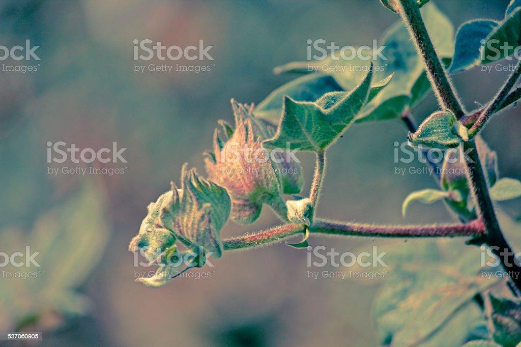 Cotton Field, protective capsule stock photo