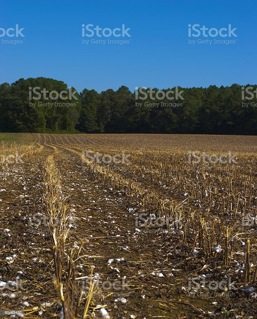 Cotton Fields after Harvest royalty-free stock photo