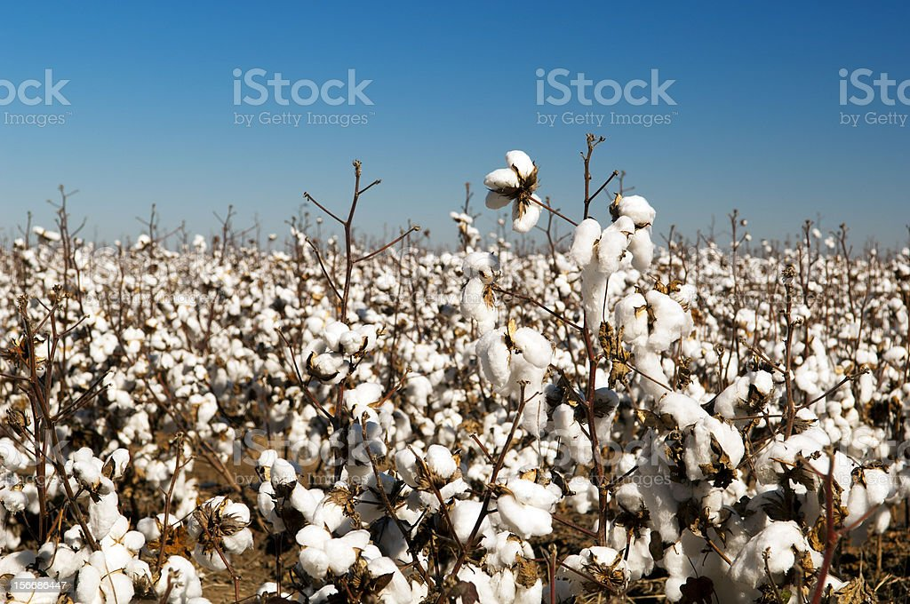 Cotton Fields royalty-free stock photo