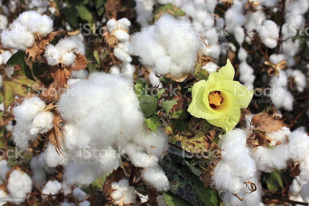 cotton fields with ripe white cotton royalty-free stock photo