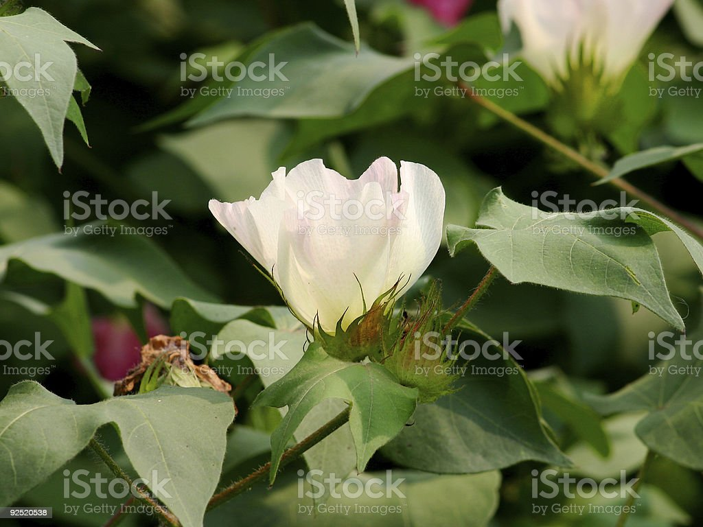 Cotton Flower royalty-free stock photo