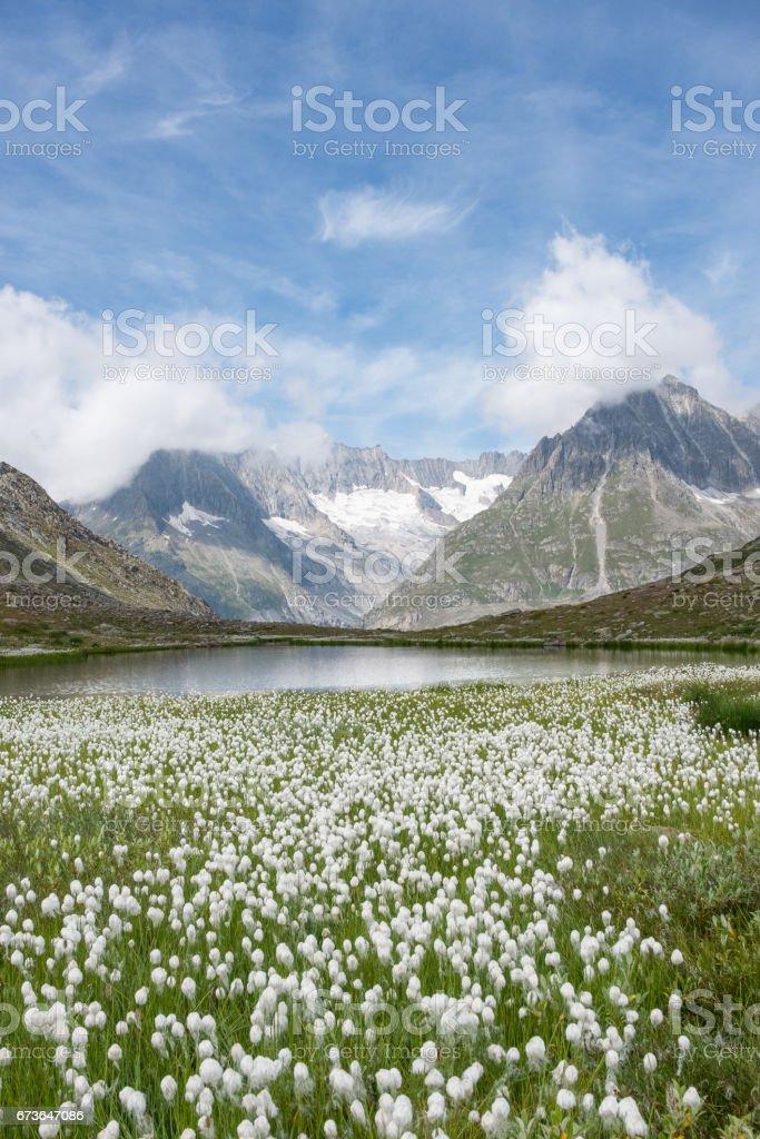 Cotton grass and mountains near the famous Aletsch Glacier, near Fiesch, Switzerland. stock photo