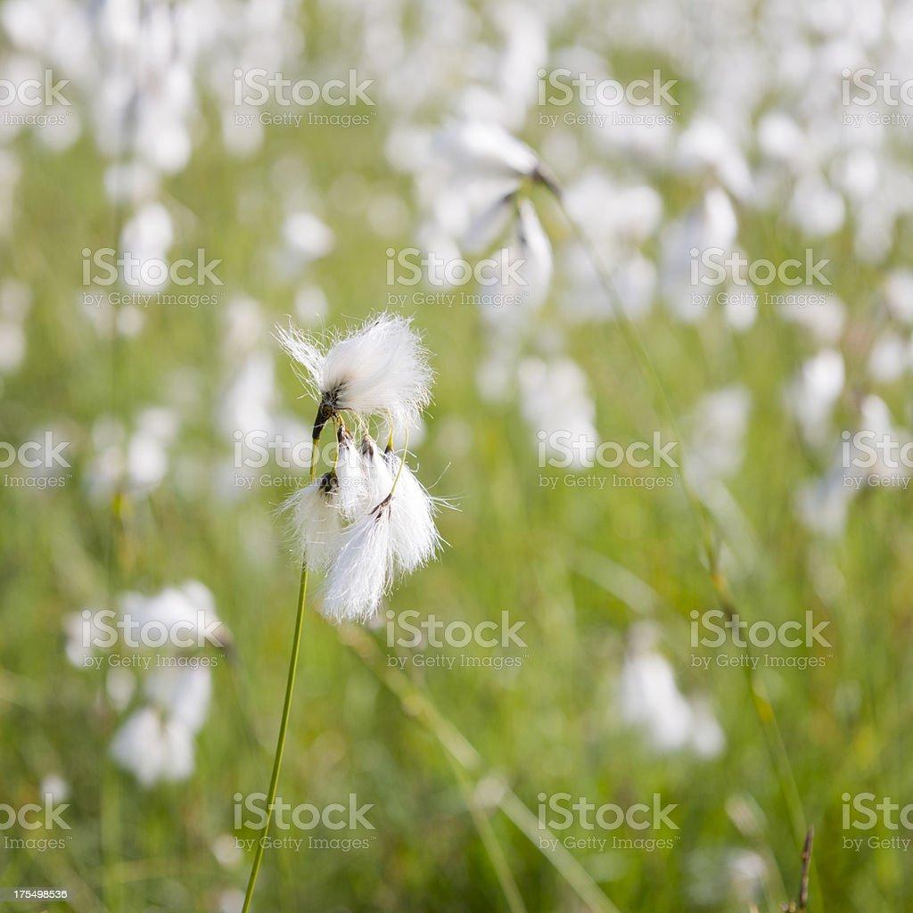 'Cotton Grass, Genus Eriophorum, Cyperaceae' stock photo