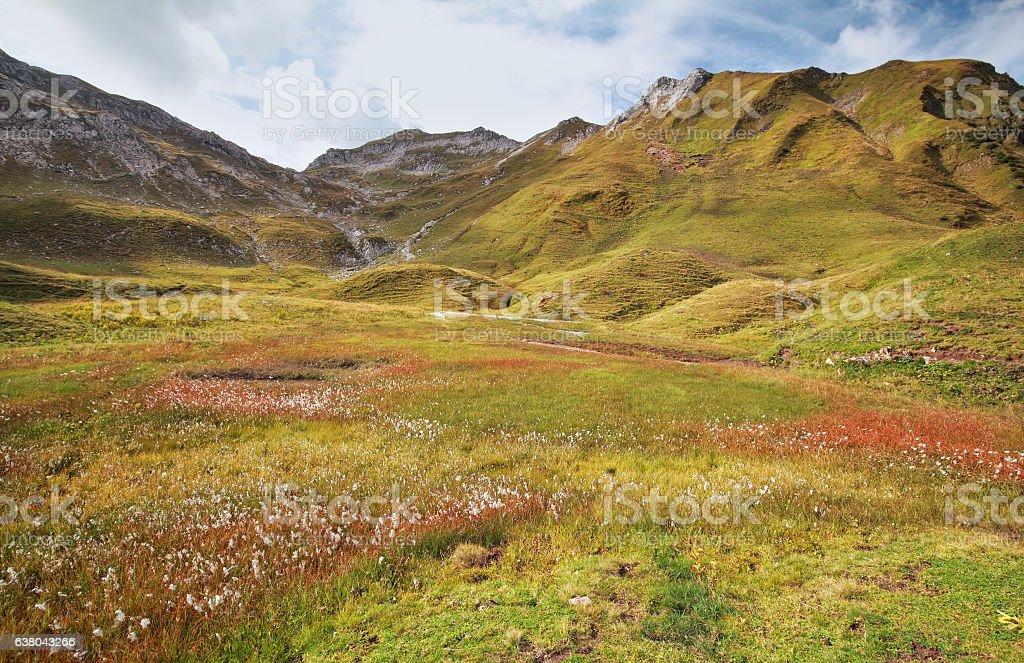 cotton grass in mountains stock photo