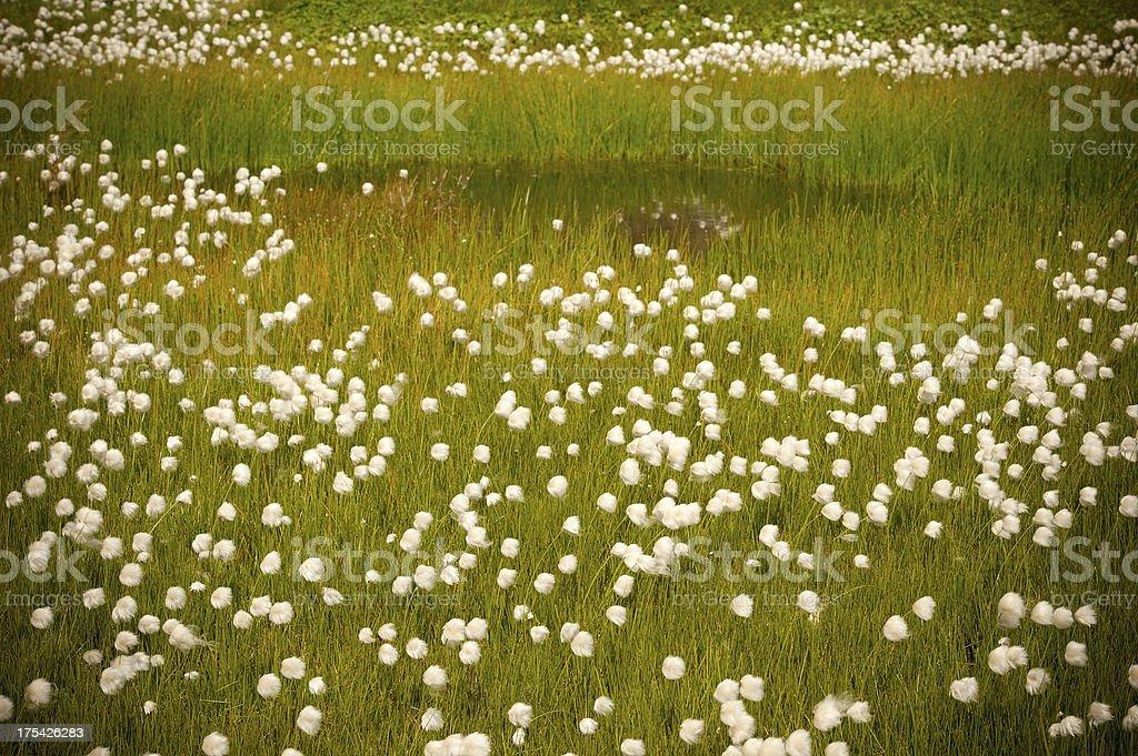 Cotton Grass (Carex) royalty-free stock photo