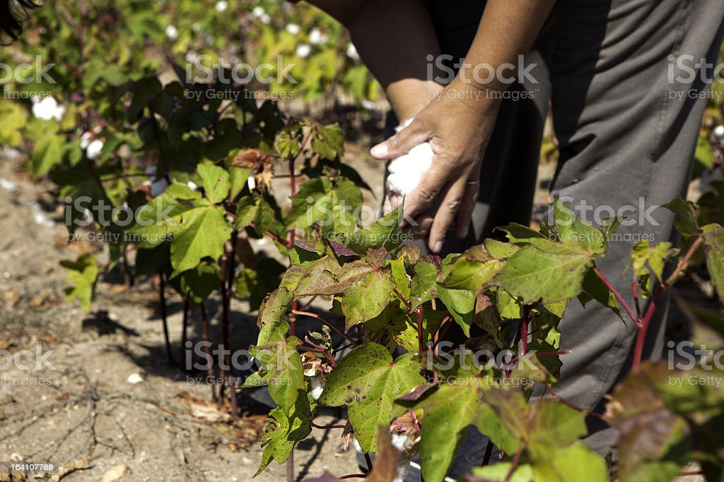 Cotton hand picked in field royalty-free stock photo