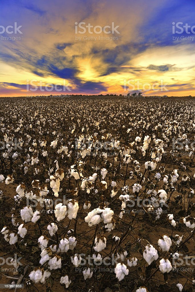 Cotton in field at sunset ready for harvest stock photo