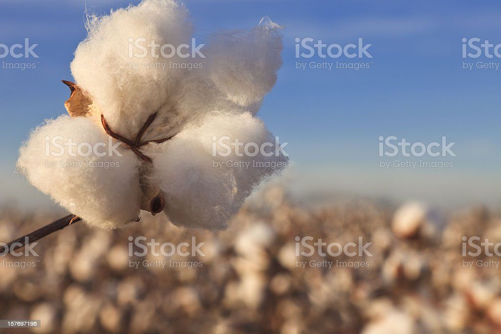 Cotton in field ready for harvest royalty-free stock photo