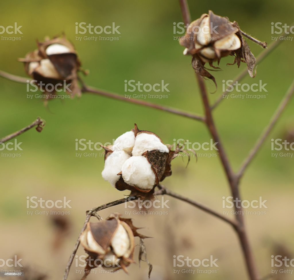 Cotton in field ready for harvest stock photo