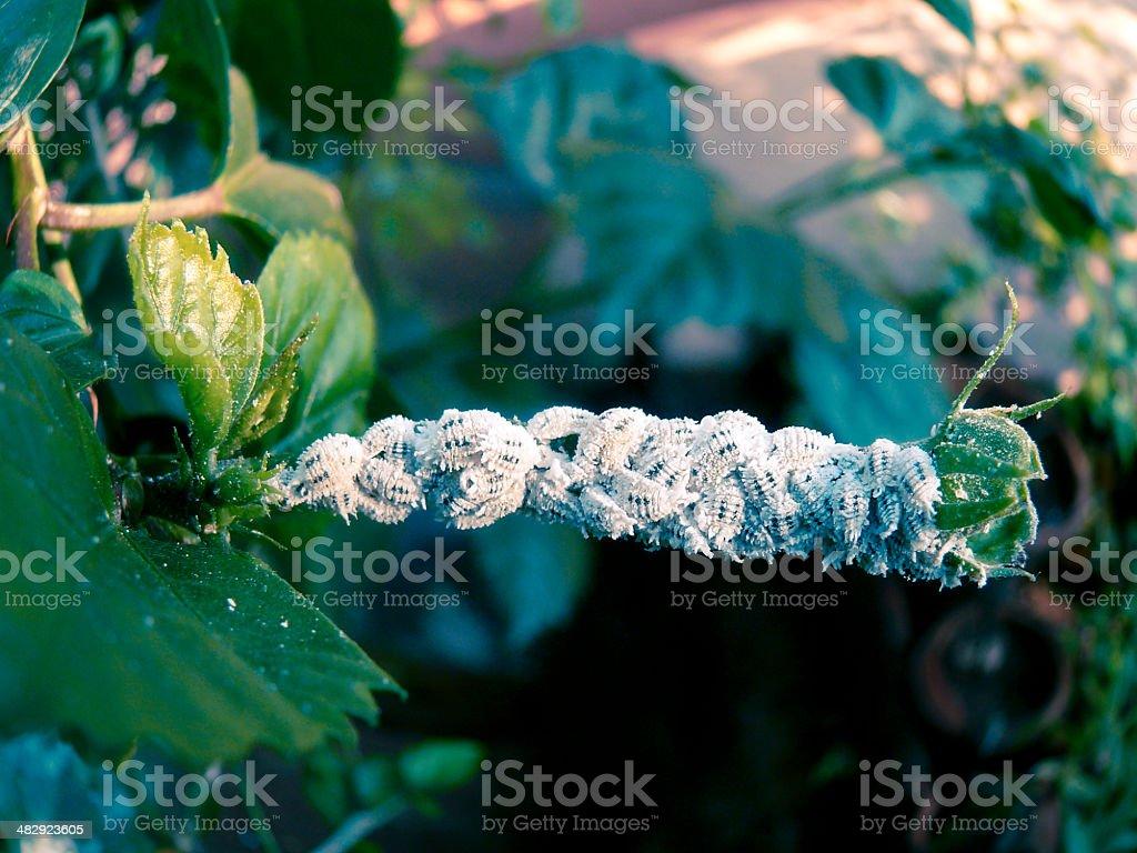 Cotton Mealy bugs, Homoptera: Pseudococcidae stock photo
