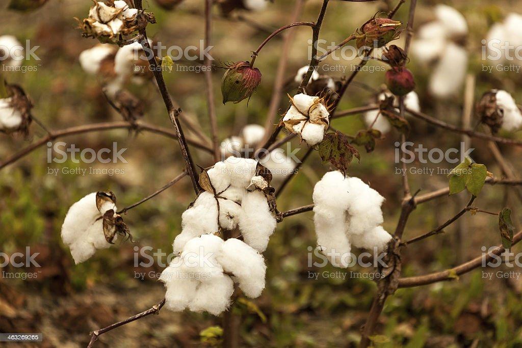 Cotton on the Vine I stock photo