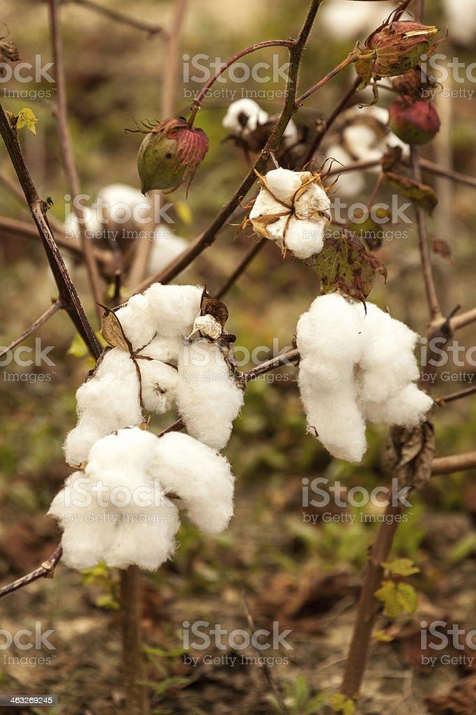 Cotton on the Vine II stock photo