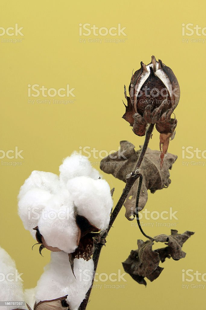 Cotton on yellow-green background royalty-free stock photo