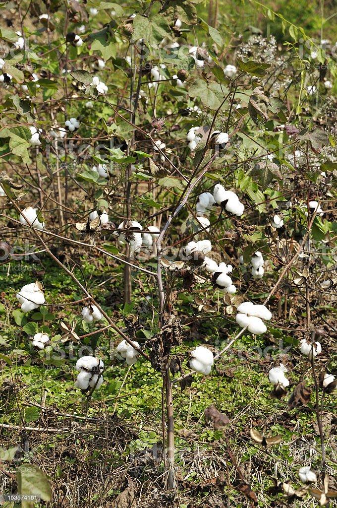 Cotton Outdoor Farm Garden Field Thailand Plant royalty-free stock photo