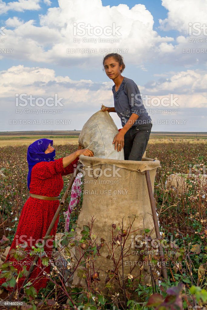 Sanliurfa, Turkey - October 27, 2014: Cotton pickers work in the field and put the cotton in sacks, in Sanliurfa, Turkey. stock photo
