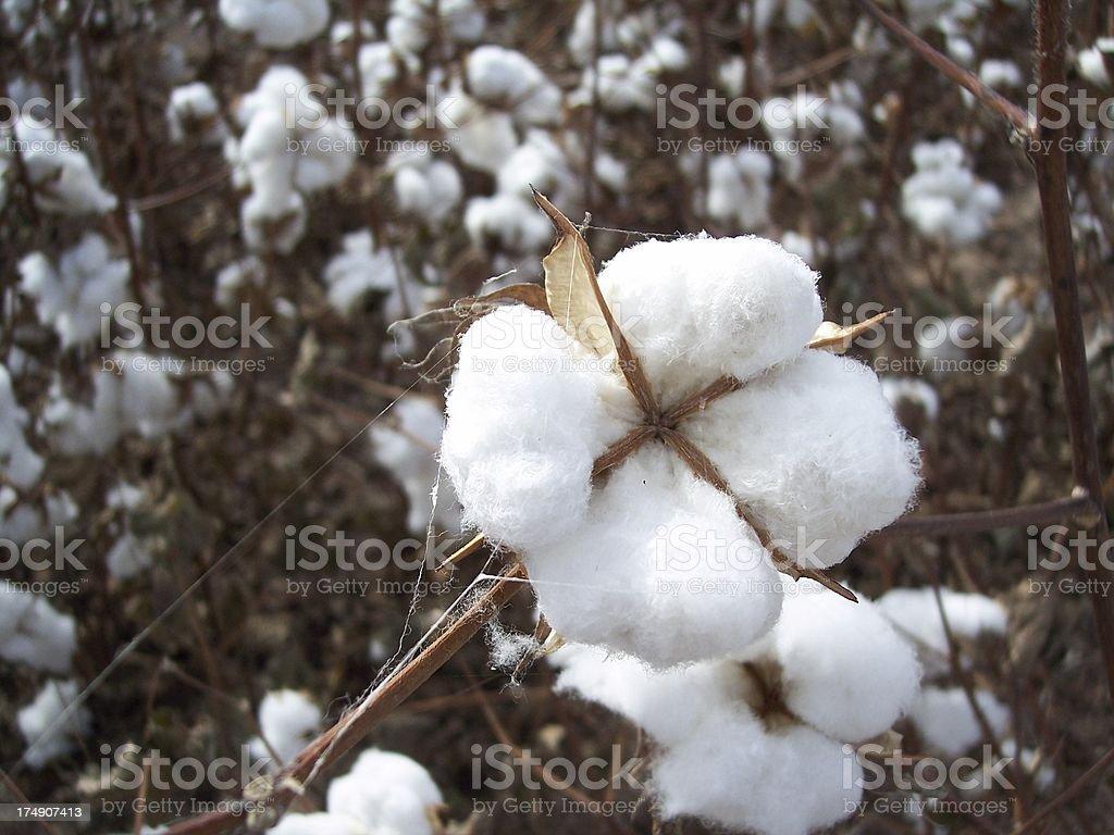 Cotton stock photo