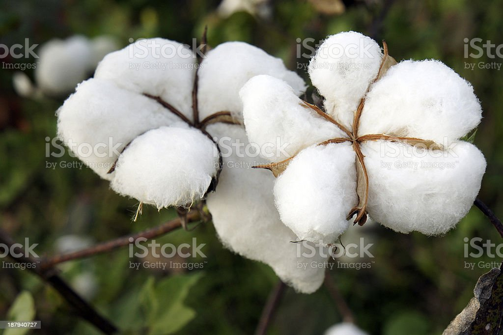 cotton royalty-free stock photo